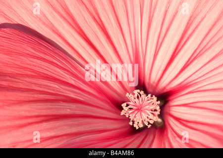 blossom detail of a pink coloured and striped Royal Mallow Germany - Stock Photo