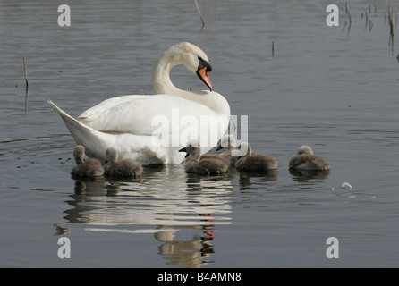 zoology / animals, avian / birds, Mute Swan, (Cygenus olor), swimming in lake with cub, Neusiedler See, Austria, - Stock Photo