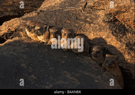 dassie africa - Stock Photo