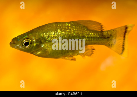 Common Goldfish - Stock Photo