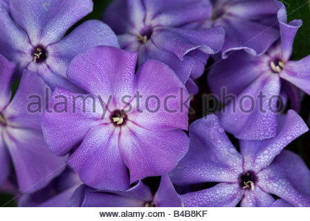 Phlox paniculata known as Garden Phlox - Stock Photo