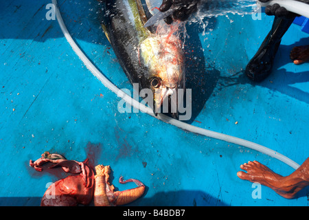 Hosing down a freshly-killed line caught yellowfin tuna fish on the blue deck of a traditional dhoni fishing boat, - Stock Photo