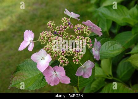 Hydrangea Macropbylla Serrata - Stock Photo