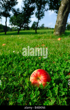 wide angle shot of an red apple on green ground covered of clovers  into a  orchard -  autumn season – Lorraine - Stock Photo