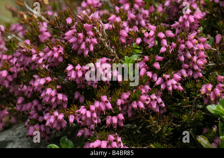 Winter Heath (Erica carnea, Erica herbacea) flowering - Stock Photo