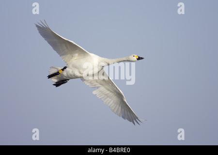 Bewick's Swan (Cygnus columbianus), adult, in flight; Slimbridge, Gloucestershire, England; January - Stock Photo