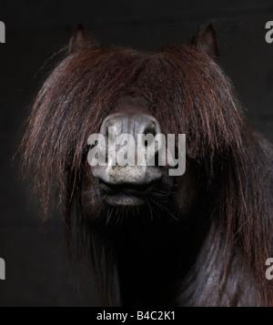 Pure Breed Icelandic Stallion with Mane over Eyes, Iceland - Stock Photo
