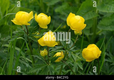 European Globeflower, Globe Flower (Trollius europaeus), flowering - Stock Photo