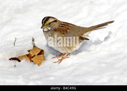White Throated Sparrow in the Virginia Snow - Stock Photo