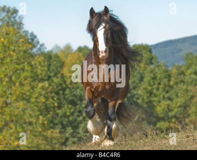 Shire Draft Horse stallion - Stock Photo