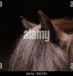 Pure Breed Icelandic Stallion, Iceland - Stock Photo