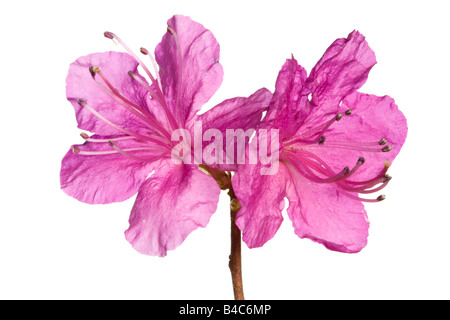 Rhododendron flowers isolated on white - Stock Photo