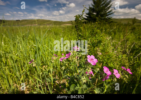 Wild flowers growing on the banks of the Elkwater Lake in the town of Elkwater, Cypress Hills Interprovincial Park, - Stock Photo