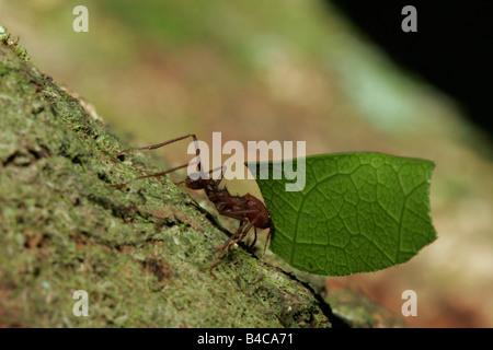 Leaf Cutter Ant Atta sp single adult carrying leaf Taken April Atlantic Rainforest Rio de Janeiro state BRAZIL