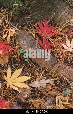 Fallen Acer Palmatum Leaves amongst pine needles on the forest floor in Autumn, Gloucestershire, UK - Stock Photo