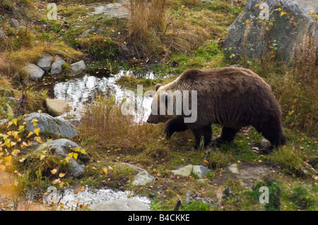 European brown bear Ursus arctos arctos at Ranua Zoo near Rovaniemi Finland - Stock Photo