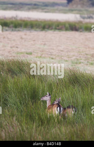 Fallow dear mother and young - Stock Photo