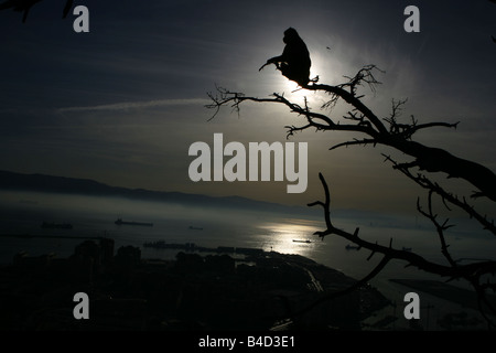 A barbary macaque on the rock of Gibraltar looks towards Spain in sunset. - Stock Photo
