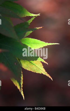Close up of Sunlit green Acer Palmatum leaves at Westonbirt Arboretum during Autumn, UK - Stock Photo