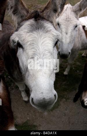 Close up portraits of Donkeys expecting food - Stock Photo