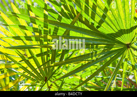 Leaves of the Serenoa repens the saw palmetto a palm like plant that grows in clumps or dense thickets in sandy - Stock Photo