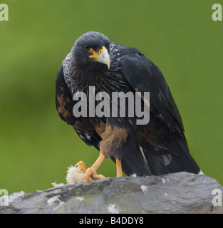 Striated Caracara Phalcoboenus australis Captive - Stock Photo