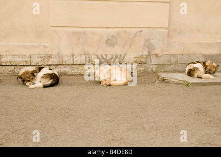 Amidst the beauty of St. Petersburg, three feral dogs sleep on the sidewalk. - Stock Photo
