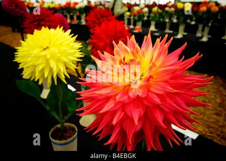 prize winning dahlia at flower show - Stock Photo