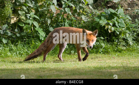 European Red Fox Vulpes vulpes - Stock Photo