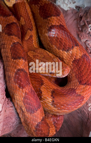 Corn Snake (Pantherophis guttatus) -  captive - formerly Elaphe guttata - Stock Photo