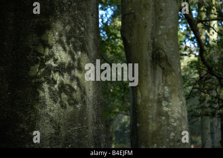Sunlight filtering through beechwood leaf canopy, casting shadows on trunks - Stock Photo