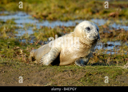 Grey Seal (Halichoerus grypus) Grey Seal pup on the sand banks at Donna Nook - Stock Photo