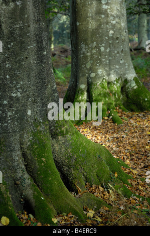 Beech tree trunks, with fallen leaves in autumn - Stock Photo