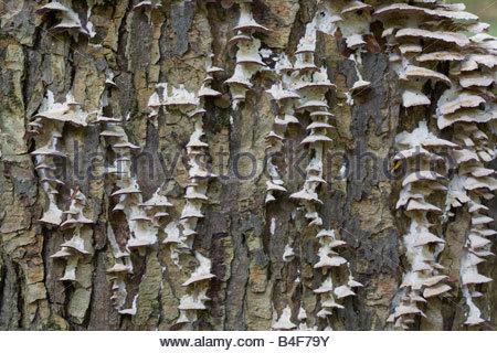 Bracket fungus growing on tree in Rouge Park in Toronto Ontario Canada - Stock Photo