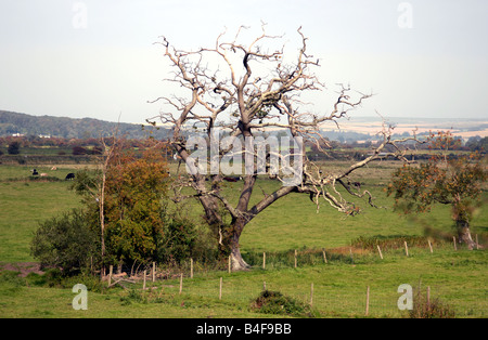 A gnarled dead tree in a field near Arundel September 2008 - Stock Photo