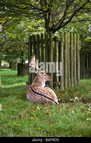 UK Cheshire Altrincham Dunham Massey Hall NT Fallow deer buck in park - Stock Photo