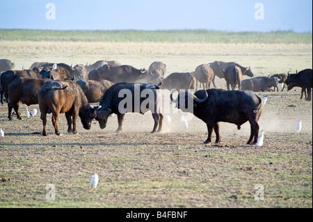 Tanzania Lake Manyara National Park a buffalos herd Syncerus caffer - Stock Photo