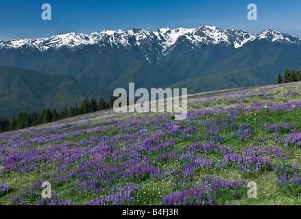 Alpine Lupine blooming at Hurricane Ridge in Olympic National Park - Stock Photo