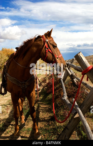 Tennessee Walker. Tethered horse. - Stock Photo