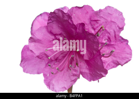 Rhododendron flowers isolated on white Useful as a element of design - Stock Photo