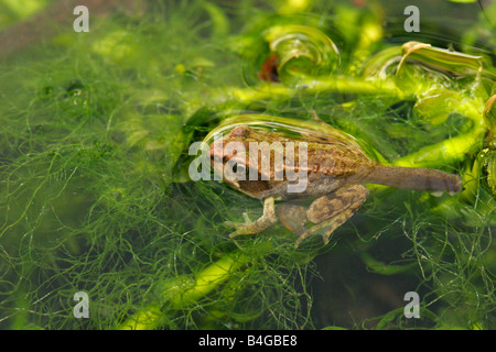 Common Frog Rana temporaria single froglet resting in garden pond Taken June London UK - Stock Photo