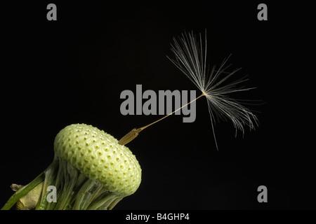 A dandelion seed - Stock Photo
