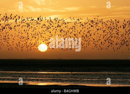 Flock of waders flying over mudflats during sunset at Snettisham , Norfolk in January. - Stock Photo