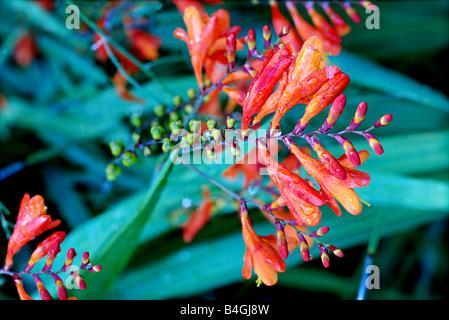 Crocosmia 'Lucifer' in bloom - Stock Photo