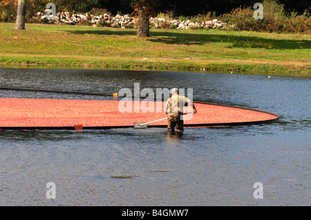 One man standing in water in flooded bog harvesting corralled ripe red cranberries in the fall in Plymouth County - Stock Photo