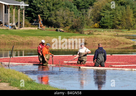 Men working in water harvesting cranberries from New England bogs in fall - Stock Photo