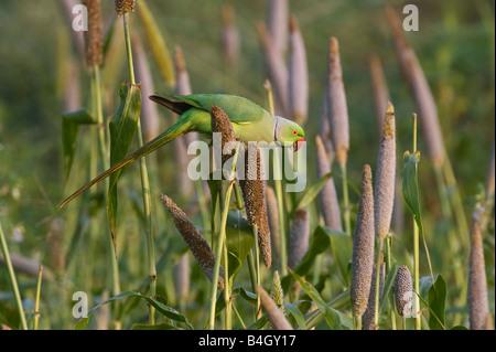 Psittacula krameri. Rose Ringed Parakeet feeding on millet seed crop in an indian farmers field. Andhra Pradesh, - Stock Photo