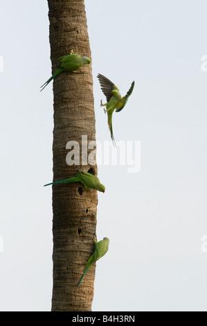 Psittacula krameri . Rose Ringed Parakeets / Ring-necked parakeets on palm tree trunk. Andhra Pradesh, India - Stock Photo