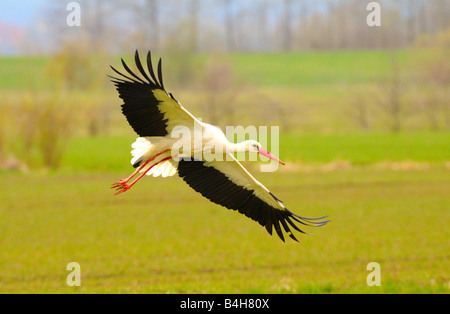 White Stork (Ciconia ciconia) in flight - Stock Photo