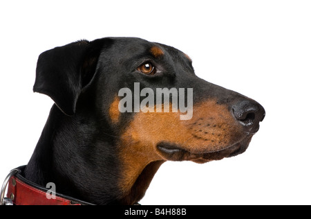 Doberman Pinscher (2 years) in front of a white background - Stock Photo
